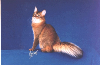 Somali Cats For Sale Ohio